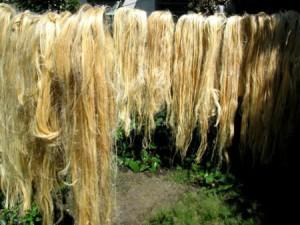 Séchage de fibres de chanvre bio