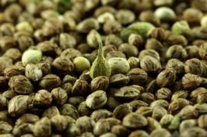 Graines de chanvre bio antioxydant naturel puissant