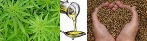 Huile de chanvre biologique est très riche en antioxydants naturels puissants